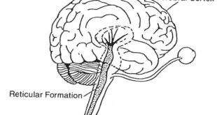 اهمیت آموزش و استفاده از مغز میانی برای فارکس و باینری آپشن